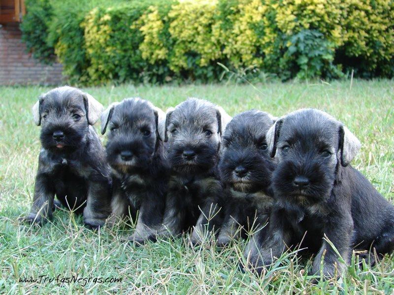 Trufas Negras Puppies