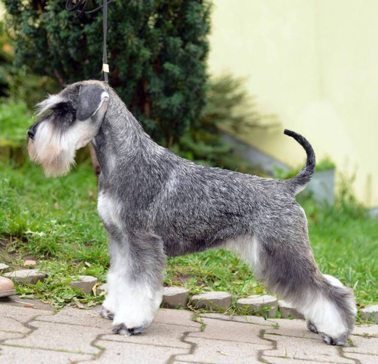 Miniature Schnauzer Salt And Pepper